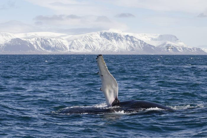 Whale & Puffin Watching – RIB Boat Reykjavik (Apr-Oct)